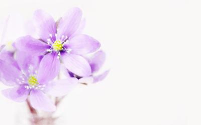 ¿Sabes qué usos tiene la Saponaria Officinalis?