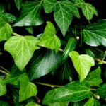 Cómo eliminar la celulitis con plantas